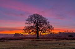 Oak Silhouette (nicklucas2) Tags: cloud cold dawn landscape newforest hampshire mogshade tree silhouette