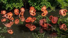 Flamingo Reflections (topendsteve) Tags: flamingo birds fl florida jungle gardens sarasota water