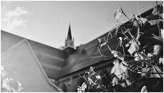 Vines in morning sun (cjhall.nz) Tags: 35mm x100f fuji fujifilm newzealand auckland photography architecture street monochrome bw bnw blackandwhite church garden vines cathedral patrick's saint st light sun morning