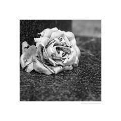Neglected rose on a grave (G. Postlethwaite esq.) Tags: bw belperboneyard dof macro unlimitedphotos blackandwhite bokeh cemetery closeup depthoffield graveyard monochrome photoborder rose selectivefocus square