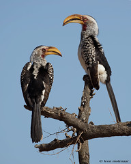 Mr & Mrs Hornbill (leendert3) Tags: leonmolenaar southafrica wildlife wilderness wildanimal nature naturereserve naturalhabitat birds yellowbilledhornbill coth5