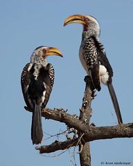 Mr & Mrs Hornbill (leendert3) Tags: leonmolenaar southafrica wildlife wilderness wildanimal nature naturereserve naturalhabitat birds yellowbilledhornbill