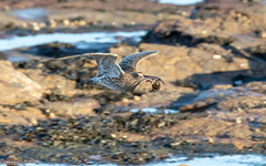 Curlew And The Crab (Steve (Hooky) Waddingham) Tags: bird wild wildlife wader flight curlew nature northumberland