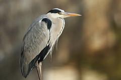 Grey heron (Teruhide Tomori) Tags: bird greyheron animal kyoto japan aquaticbird wild nature アオサギ 野鳥 日本 野生 鳥 japon portrait 京都 東寺 toji
