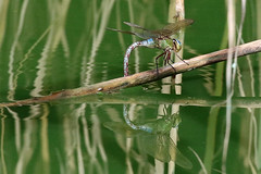 Anax imperator (f) (Roy Lowry) Tags: anaximperator emperordragonfly bugibba malta