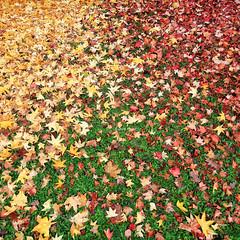 Red, Yellow, Green (Robyn Hooz) Tags: foglie leaves acero maple tree alberi albero suolo terra soil padova
