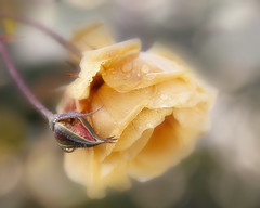 Wet and cold (Birgitta Sjostedt- thanks for 12 m views.) Tags: rose plant garden nature drop bokeh texture bud soft