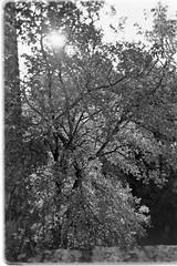 the neighbor, the tree (sebastel23) Tags: rolleiretro80s exposedlikeiso64 rodinal150 13min