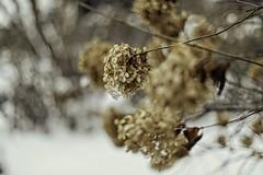 IMG_1625 copy (Bill Gagne Photography) Tags: colors color browns december fall autumn autumncolors fallcolors hydrangea hydrangeapetal canon canonef50mmf14usm canoneos5dmklv lightroom on1photoraw billsphotos billgagnephotography bokeh hartfordcountyconnecticut snow ice