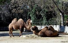 Camello bactriano (Marisa Tárraga DV) Tags: españa spain madrid zooaquarium animal camellobactriano camel ngc naturaleza nature