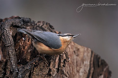 Picchio muratore - Eurasian nuthatch (Sitta europea - Linnaeus, 1758) (Bradiponi) Tags: bird nature wildlife brown blue orange autumn