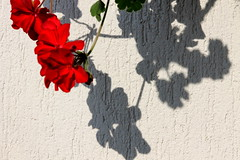 Shadows On The Wall (JULIANA LEFTEROVA) Tags: flower blossom vibrantred lightandshadows closeup summertime abstract