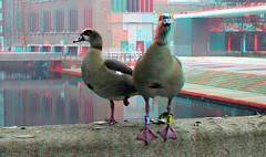 Nijlganzen Hoogstraat Rotterdam 3D (wim hoppenbrouwers) Tags: nijlganzen hoogstraat rotterdam 3d anaglyph stereo redcyan ringxx vondelpark