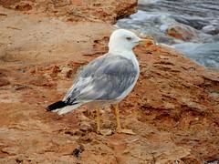 """Sometimes you gotta fall before you fly..."" (fl_mala) Tags: parosisland seagull lifeisbetterontheisland paros greece traveltogreece greecelovers discovergreece fly greekislands ilovegreece"