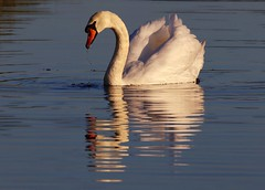 Swan reflections (johnlauper) Tags: swan muteswan bird reflections waterbird westlangney eastsussex nature wildlife
