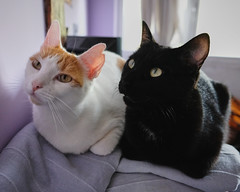 brotherhood (miguel_osvaldo) Tags: cat kitten brothers animal fujifilmxt2 pet cute sweet blackcat eyes whiskers