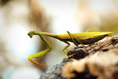 I am watching you (the.last.simulacrum) Tags: mantis praying insect animal nature autumn