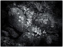 Rocks and Leaves (kckelleher11) Tags: 1250mm 2019 ir ireland leaves olympus august bw black em5 infrared mzuiko omd rocks white wicklow