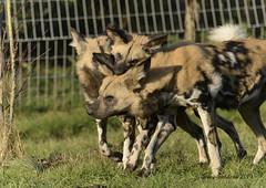 (davefieldson) Tags: ywp yorkshirewildlifepark nature yorkshire outside doncaster animals wildlife