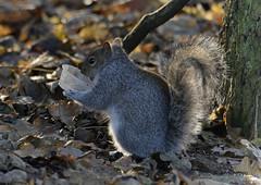 Squirrel (davefieldson) Tags: ywp yorkshirewildlifepark nature yorkshire outside doncaster animals wildlife