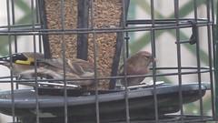 Lesser Redpolls (Mairi29) Tags: lesser redpoll gardenwildlife