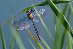 20190809_360c (novofotoo) Tags: anaximperator anisoptera edellibellen emperordragonfly grosekönigslibelle groslibellen insekten libelle natur schilf tiere animals dragonflies insects