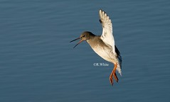 Redshank coming in for landing (ftm599) Tags: teeside naturephotography wildlifephotography actionphotography birdphotography sonyphotography naturereserve sony nature wildlife wild landing lake action waterbird waders wader birds bird redshanks redshank
