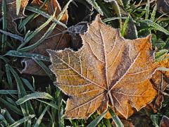 fall into winter 2019 (matthias416) Tags: fall winter morning ice cristal leaf herbst morgen eiskristalle blatt laub frost frozen gefroren nikon freiburg blackforest schwarzwald germany