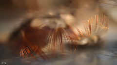 LA VIE NE TIENT QU A UN CIL ....OU 2.... (FLOCVROFF 1M views Thanks to you all) Tags: chivaroff feather winter plumes poesie lumiere 50mm proxi canon magicmoments