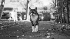 On The Road Again (sdupimages) Tags: cat chat pet bokeh hmbt mbt monochrome bw nb portrait
