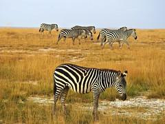2108ex herd on the move  ** Explore** (jjjj56cp) Tags: zebra inthewild amboseli amboselinationalpark kenya ke africa africansafari grasslands savannah grasses migration herd stripes black white blackandwhite equid mammal threatened p900 coolpixp900 nikoncoolpixp900 jennypansing grant grantszebra