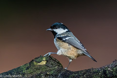 Steppin' up (Linda Martin Photography) Tags: bird hampshire coaltit parusater wildlife eyeworthpond newforest nature naturethroughthelens coth ngc coth5 npc