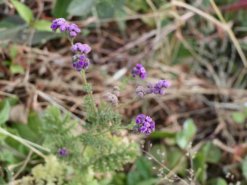 Cyathocline purpurea (Buch.-Ham. ex D.Don) Kuntze