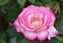 "Thursday`s Flower (Rose ""Handel"") (Eleanor (Very busy)) Tags: flower rose handel pinkrose garden stanmore england uk nikond7200 may2019 bud"