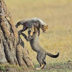 He ain't heavy (John Kok) Tags: kenya masaimara serian september2015 cheetah acinonyxjubatus nikkor80056evr
