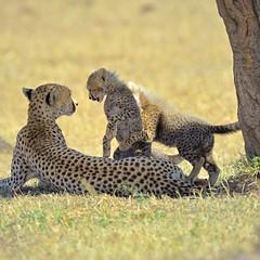 Play with us Mummy (John Kok) Tags: kenya masaimara serian september2015 cheetah acinonyxjubatus nikkor80056evr