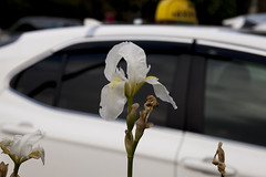 Taxi as Background-2 (zeevveez) Tags: זאבברקן zeevveez zeevbarkan canon background taxi flower