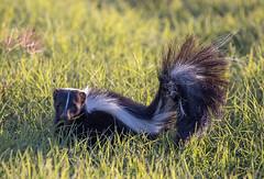 Striped Skunk - Mephitis mephitis (J Centavo) Tags: striped skunk mephitis