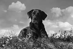 Buddy (The Papa'razzi of dogs) Tags: animal black buddy outdoor clouds dog labrador portrait
