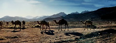 """Ships of the desert"" in the fading light of the day (peggyhr) Tags: peggyhr camels desert shadows light img8718a wadirum jordan photozonelevel1 carolinasfarmfriends thelooklevel1red"