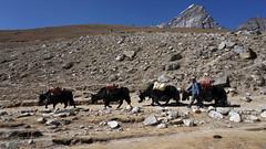 De retour de l'Everest (Sam Photos with Sony native jpeg) Tags: yack kala patthar vallée khumbu ama dablam népal nepal everest montagne himalaya trek randonnée altitude neige automne autumn camp base sommet summit