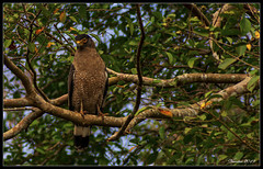 Wild eagle (VERODAR) Tags: eagle nature natureandwildlife bird jungle junglelife wildlife wildbirds nikon verodar veronicasridar