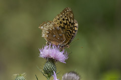 Butterfly 2019-181 (michaelramsdell1967) Tags: butterfly butterflies nature macro animal animals insect insects brown green purple thistle beauty beautiful pretty lovely vivid vibrant detail delicate fragile meadow wildlife upclose closeup bug bugs bokeh wings zen