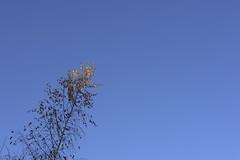 CopperTipped (Tony Tooth) Tags: nikon d600 nikkor 50mm f18g tree leaves sky copper blue simple leek staffs staffordshire minimalism minimal minimalist