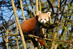 Red Panda (Ailurus fulgens) (Seventh Heaven Photography - (Fauna)) Tags: ailurusfulgens ailurus fulgens red panda chester zoo cheshire england nikond3200 animal mammal nima female