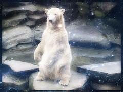 Polar Bear KNUT (BrigitteE1) Tags: eisbärknut polarbearknut zooberlin deutschland erinnerung remembrance eisbär polarbear ursusmaritimus ysbeer běijíxióng бяламечка 北極熊 isbjørn jääkarhu jääkaru oursblanc nanoq ísbjörn orsopolare シロクマ 북극곰 polarnimedvjed ijsbeer niedźwiedźpolarny ursopolar urspolar белыймедведь osopolar jegesmedve knut specanimal