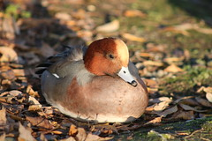 Wigeon duck (ekaterina alexander) Tags: wigeon duck eurasian mareca penelope chestnut feathers wild water bird male autumn leaves england sussex harbour coast ekaterina alexander nature photography pictures