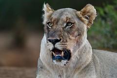 resting after feasting (cirdantravels (Fons Buts)) Tags: southafrica zuidafrika fonsbuts cirdantravels wildlife wildlifephotography nature natuur natur naturalhabitat wildanimal natural nikond850 leo panthera leeuw lion löwe roofdier predator carnivora carnivore feline felidae bigcat