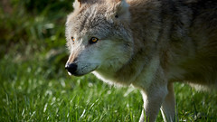 Hunt for Freedom (Oliver Zillich) Tags: hunt freedom canislupus wolf oliverzillich wild