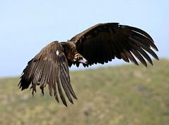 Cinereous Vulture / European Black Vulture --- Aegypius monachus (creaturesnapper) Tags: birds birdsofprey extremadura spain europe monfraguenationalpark vultures cinereousvulture europeanblackvulture aegypiusmonachus